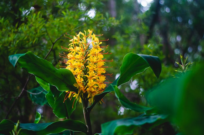 Kahili ginger in Kokee State Park