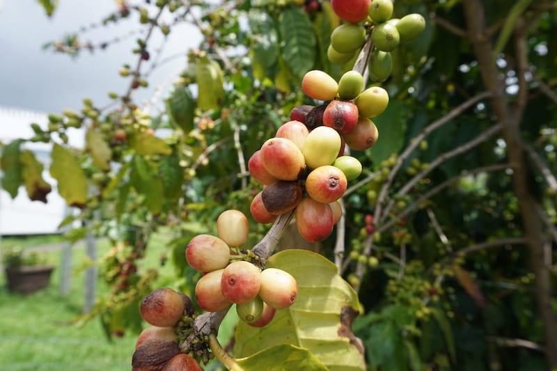 Kona coffee berries starting to ripen on the tree.