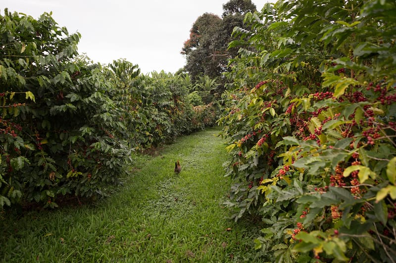 Amy B. H. Greenwell Ethnobotanical Garden coffee
