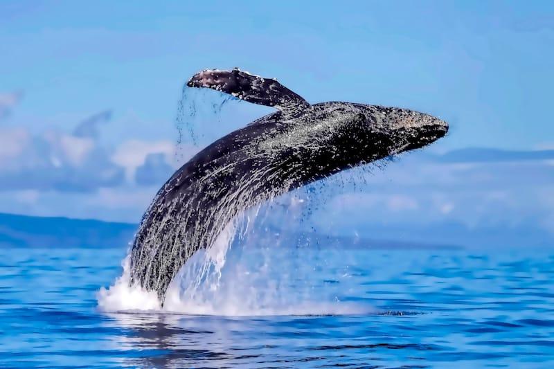 Humpback whale breaching in Lahaina