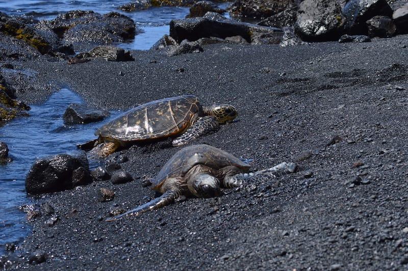 Turtles on Punaluu Beach